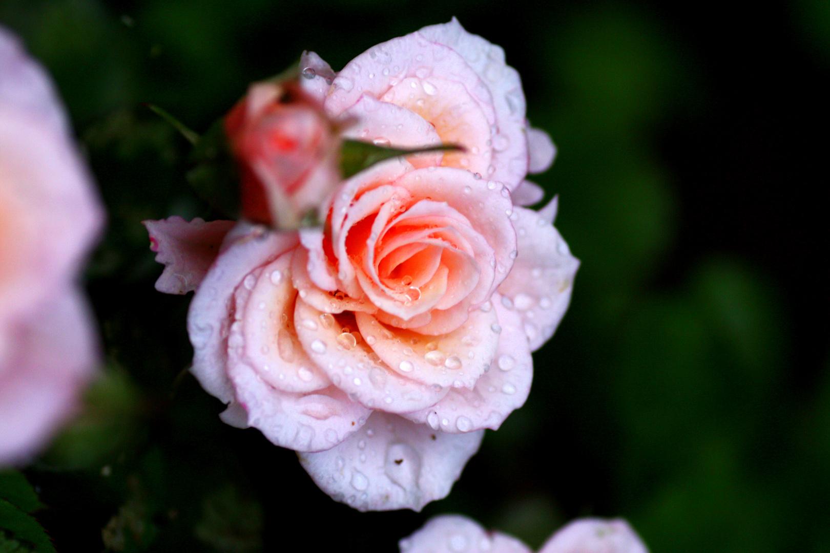 Rose nach dem Regen 2