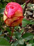 Rose nach Frost II
