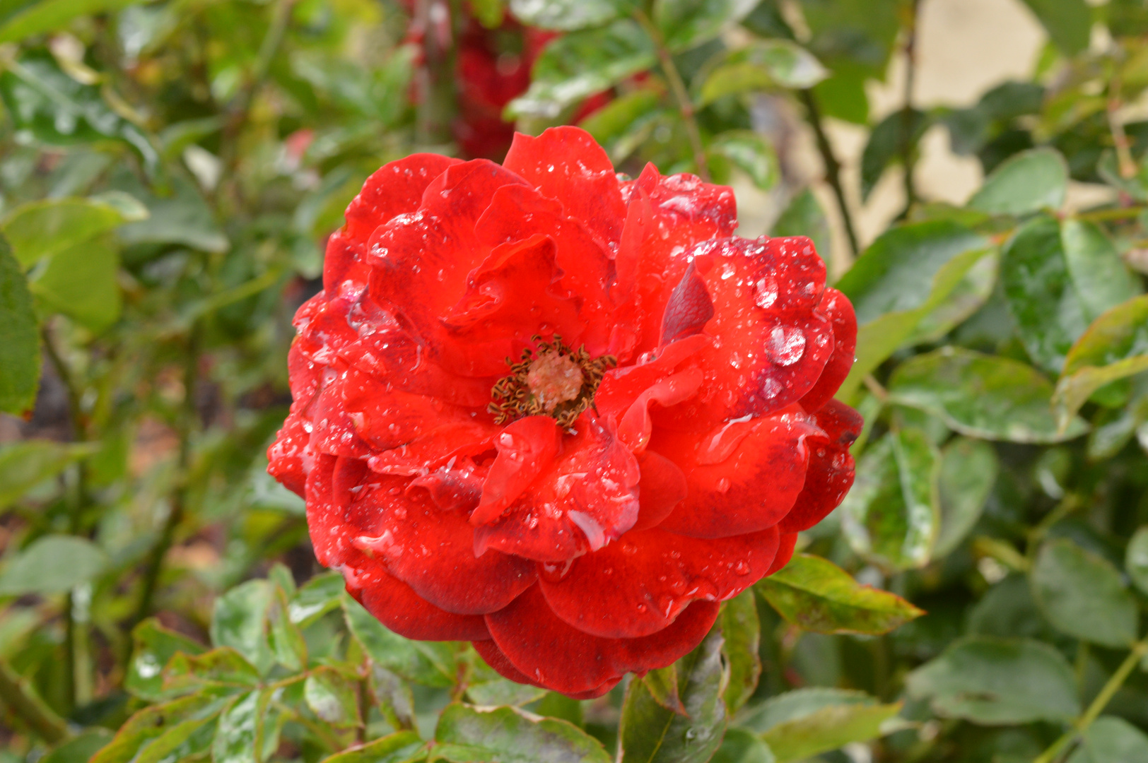 Rose nach Regen