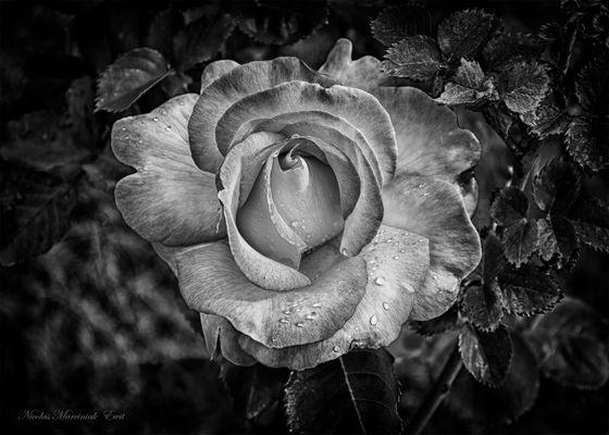 Rose NB