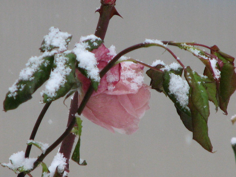 Rose & neige