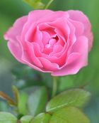 Rose No. 2