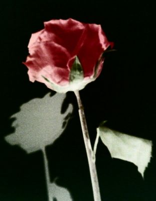 Rose nocturne