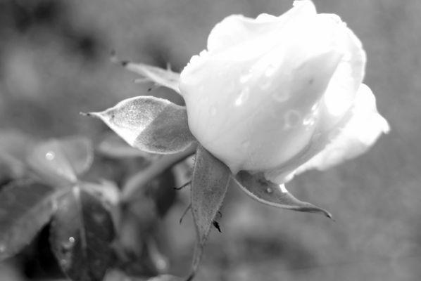 rose, noire et blanc