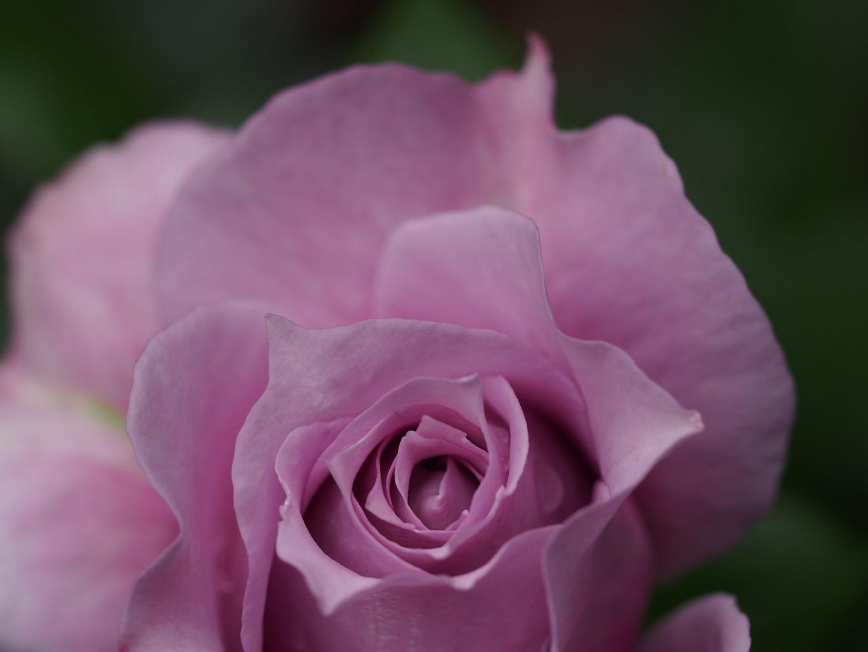 Rose - Novalis