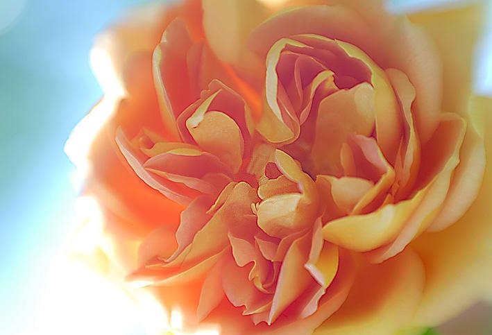 Rose Nr. 3