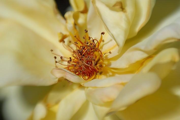 Rose Nr. 4