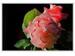 Rose Nr. 97348
