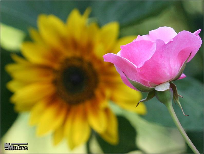 Rose oder Sonnenblume?