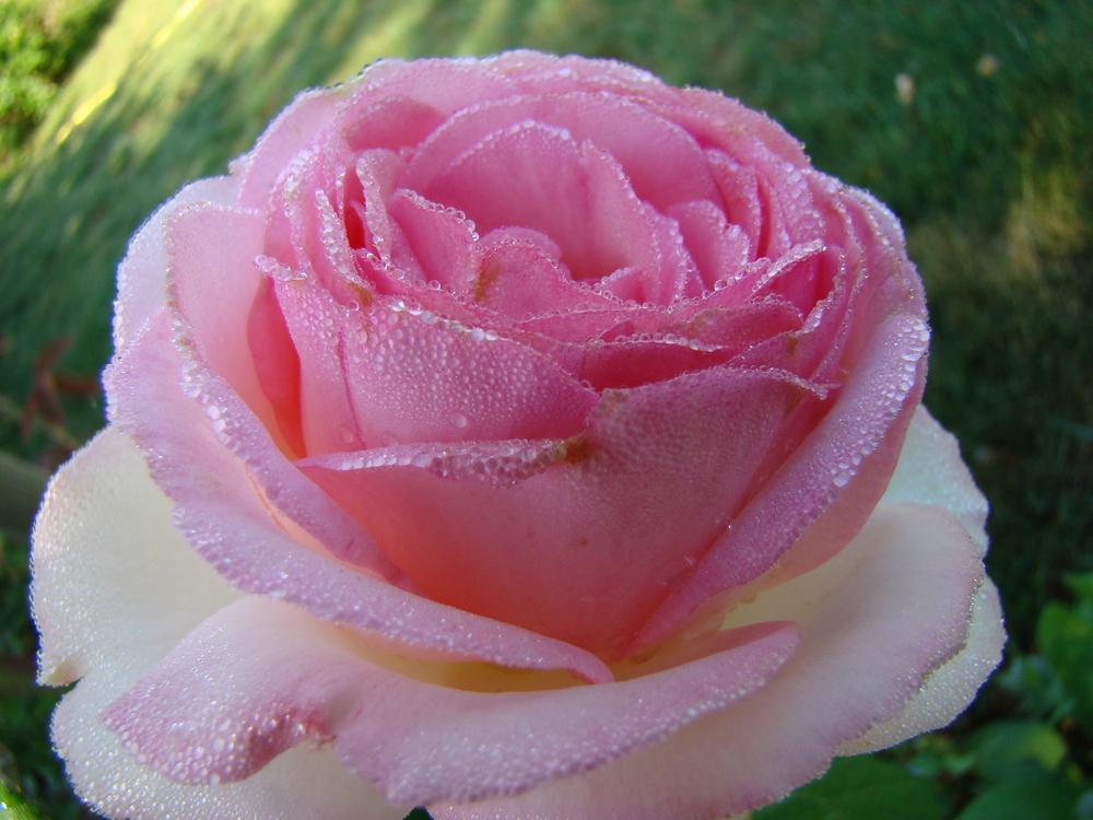 Rose Odette Joyeux