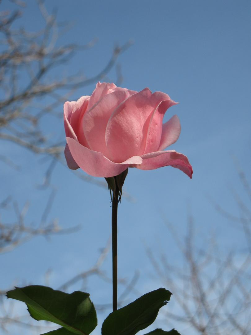 rose of November