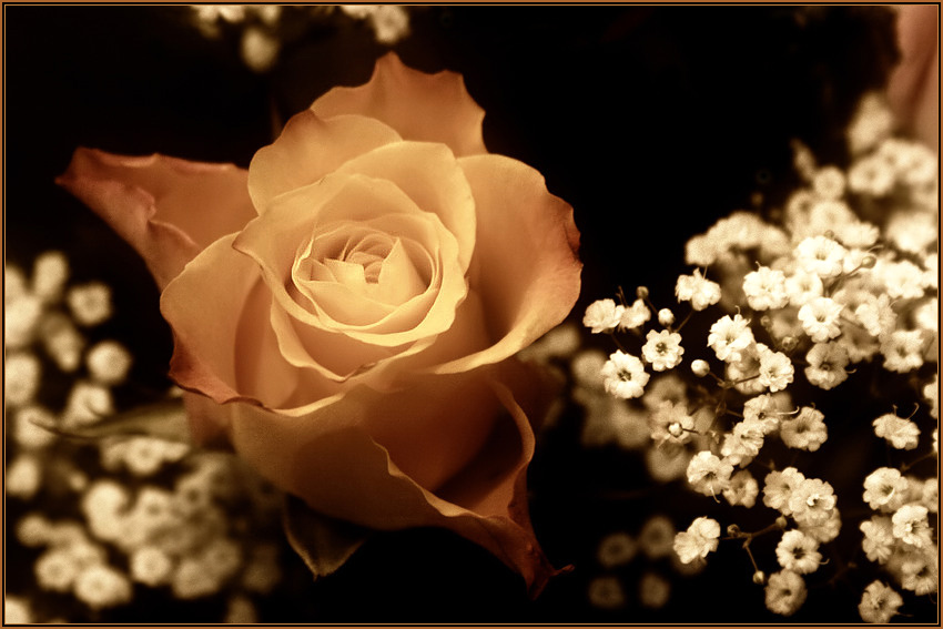 :: rose of tenderness ::