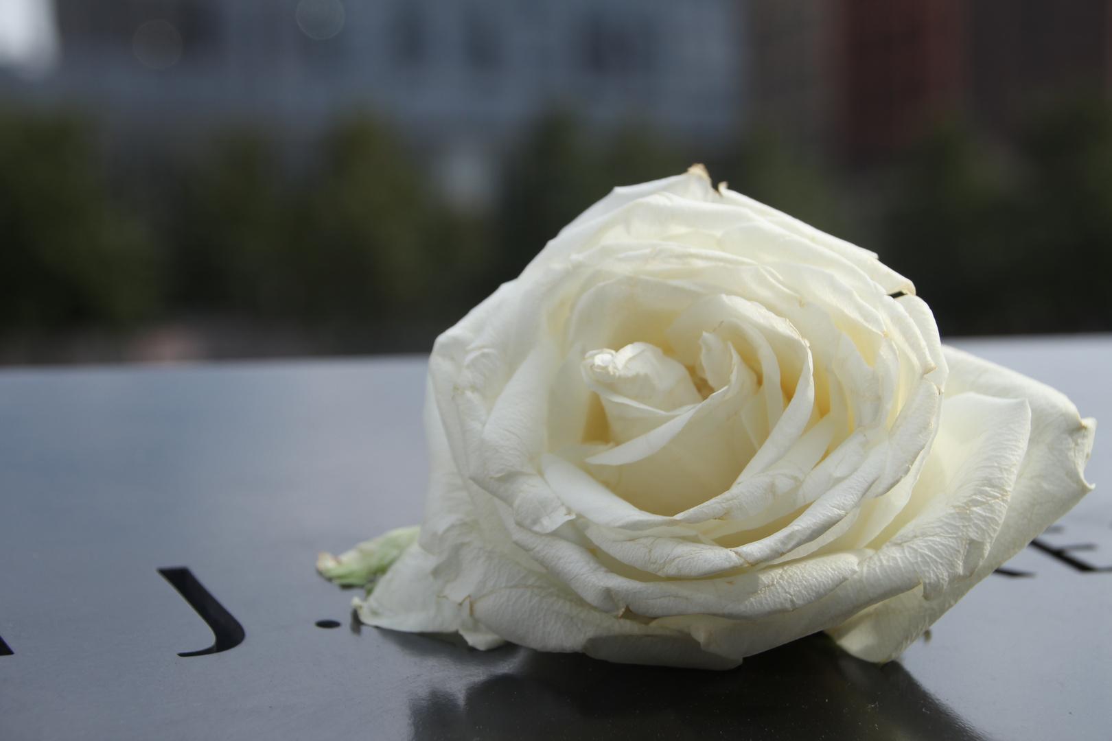 Rose on Ground Zero Memorial