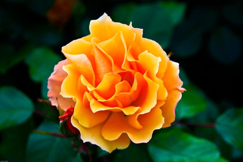 rose orangée