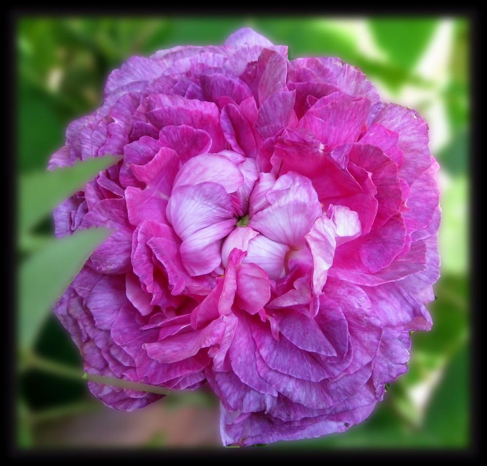 rose panachée