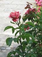 Rose Papageno