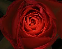 Rose para Elizabeth