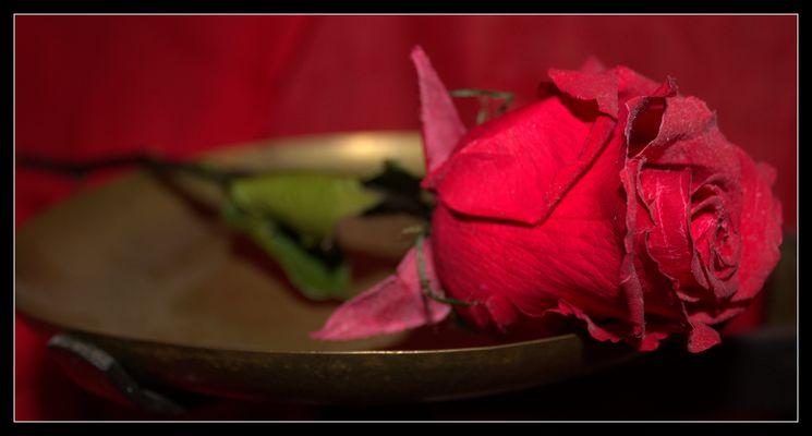 Rose perpetuelle