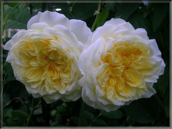 Rose Pilgrim