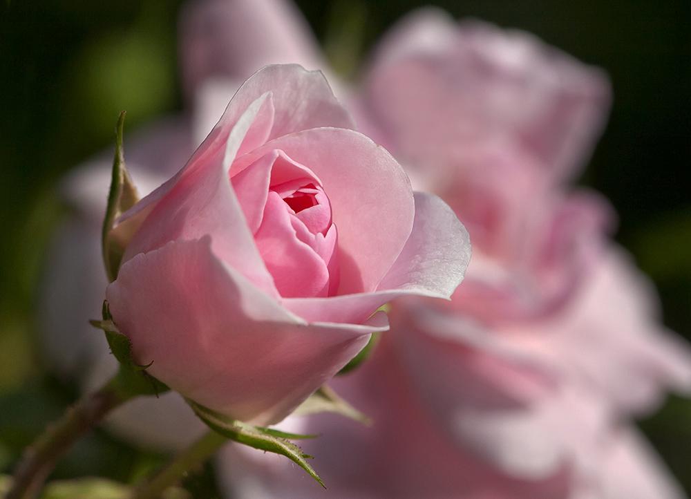 rose pink foto bild pflanzen pilze flechten bl ten kleinpflanzen rosen bilder auf. Black Bedroom Furniture Sets. Home Design Ideas