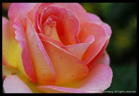 rose piquante et élégante