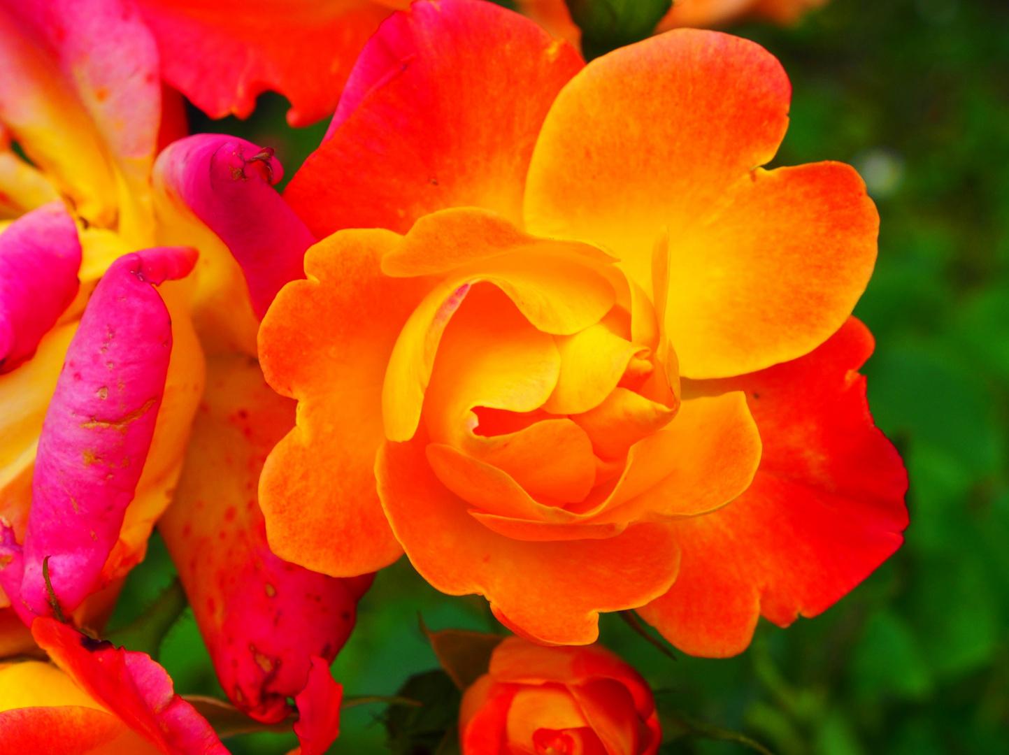 Rose - Pop Art