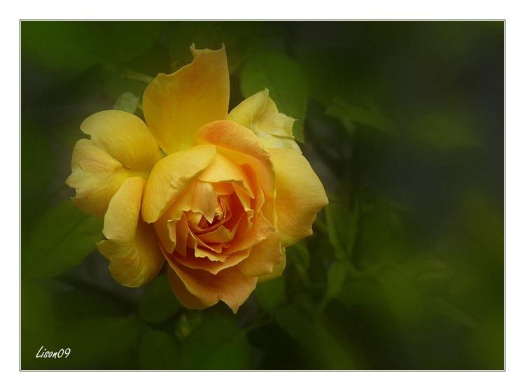 Rose qui sent la Provence