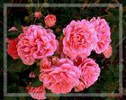 Rose -Rosarium Uetersen-