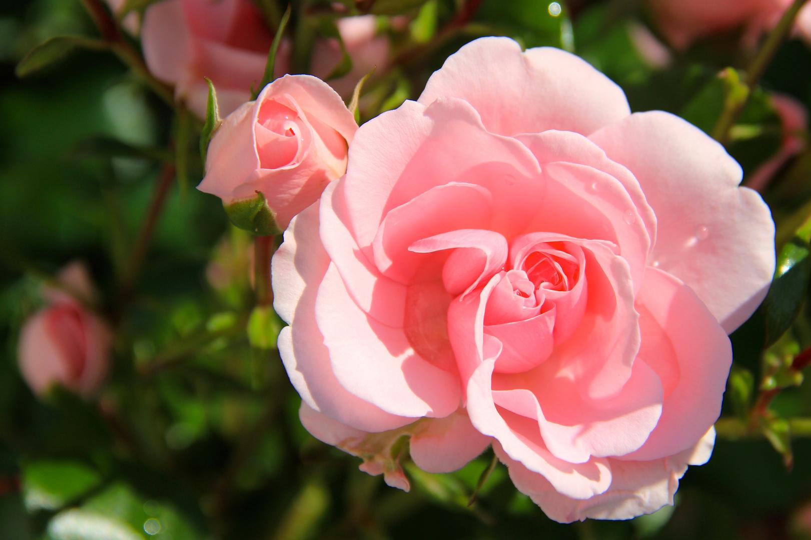 Rose - rosarot