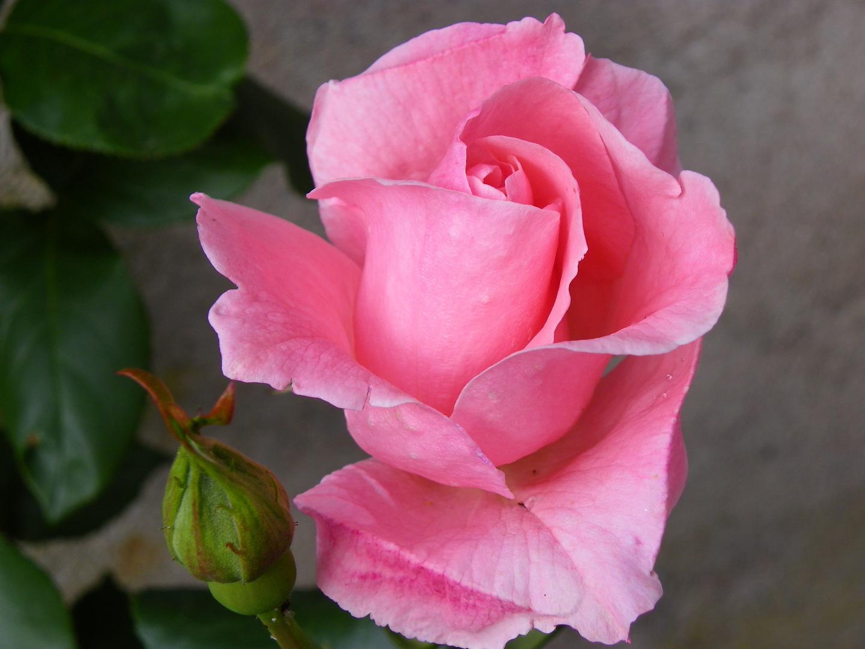 Rose rose!!