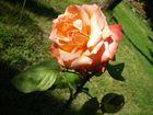 Rose rose ...