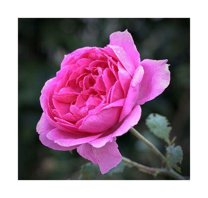 Rose, rose, jolie rose
