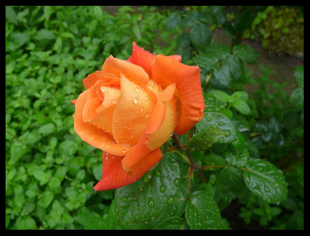 Rose & rosée