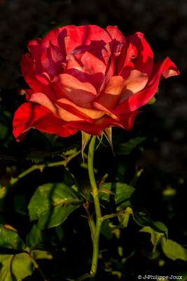 Rose rouge -