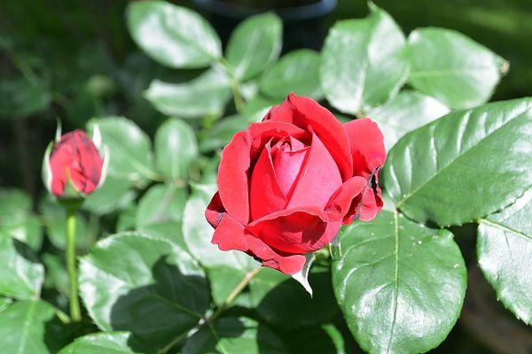 Rose rouge en bouton