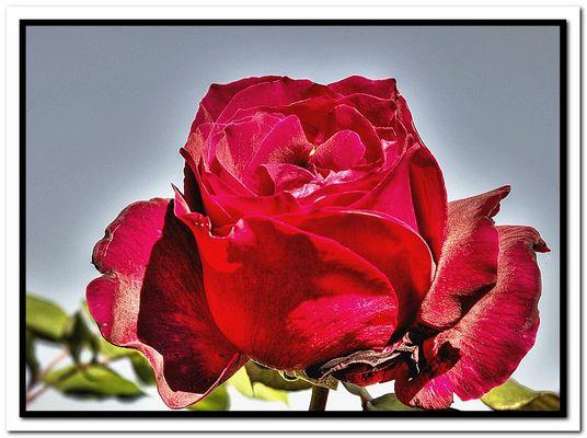 Rose Rouge en HDR.