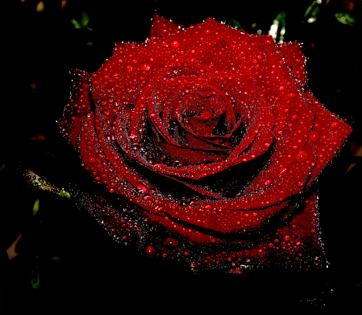 Rose Rouge Perlée