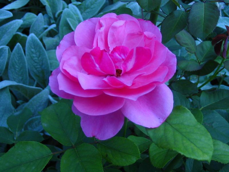 Rose (sag blos, ach nee)