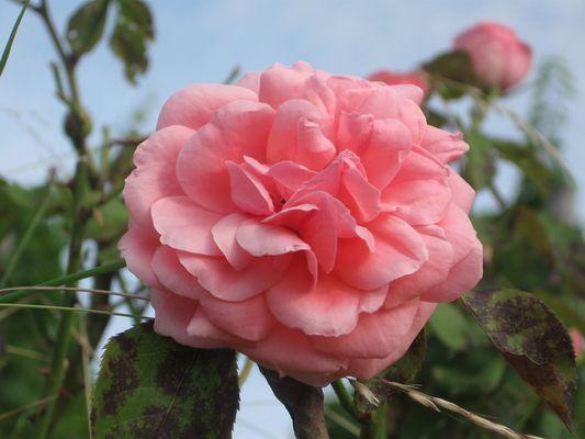 Rose Sauvage