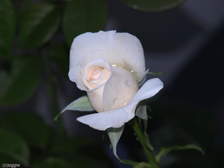 Rose Schloß Ippenburg