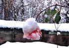 Rose & Schnee November 2010