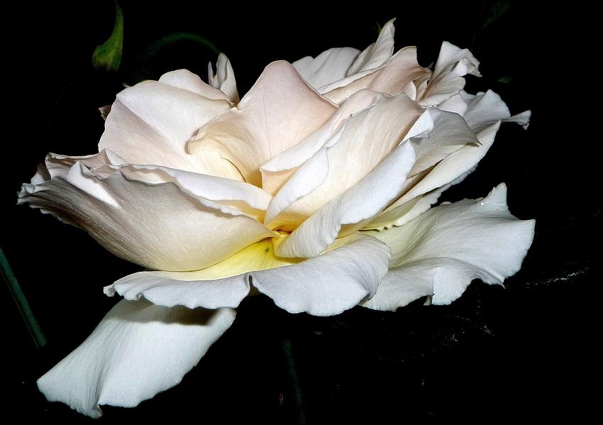 Rose Schneewitchen