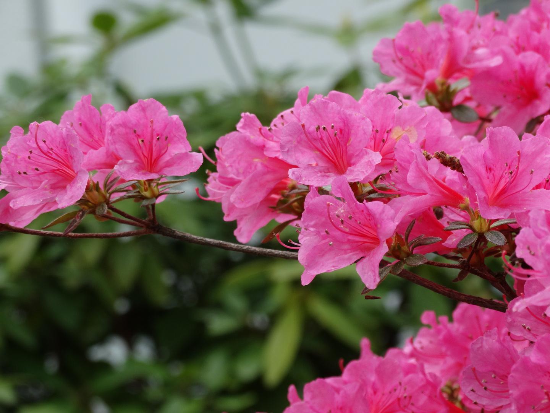 Rose Schönheit