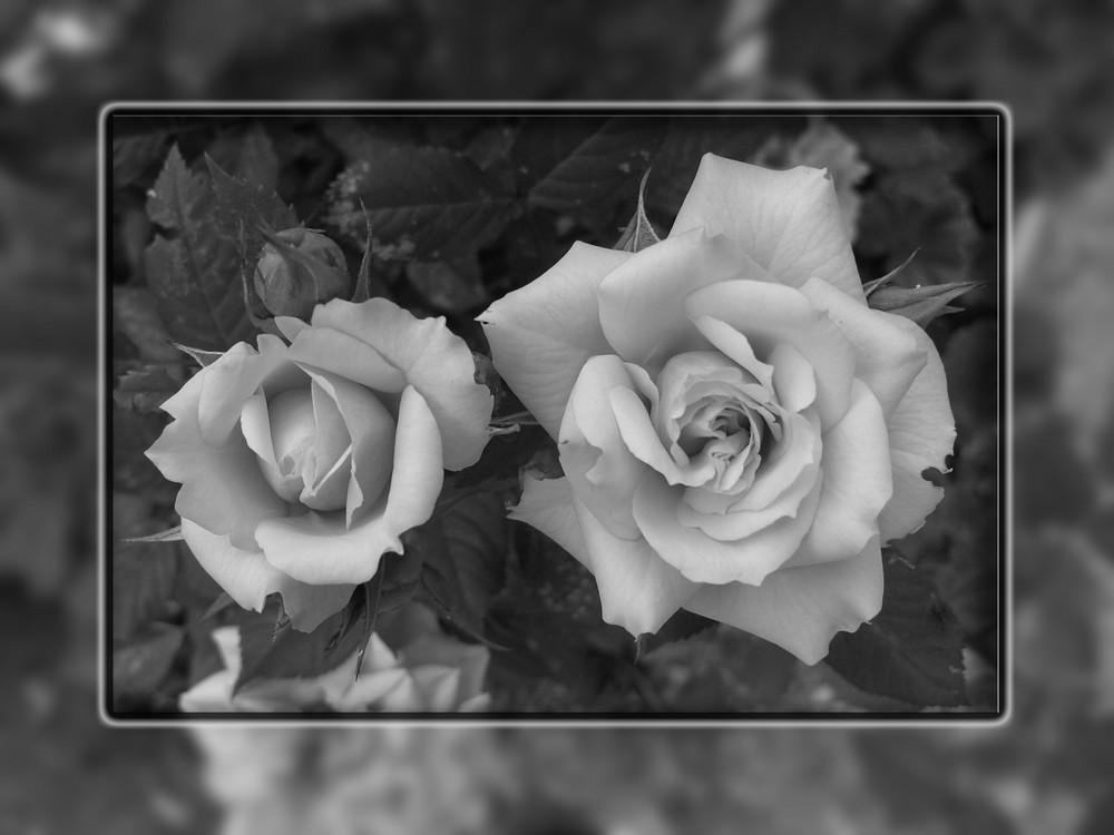 Rose - Schwarz/Weiss