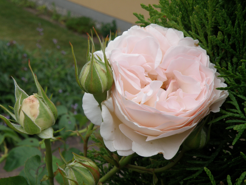 rose sebastian kneipp foto bild pflanzen pilze. Black Bedroom Furniture Sets. Home Design Ideas