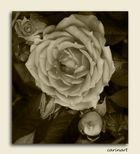 Rose sépia