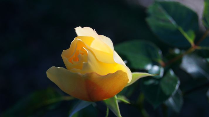 """Rose """"soleil"""",aussi timide que le soleil en hiver"""