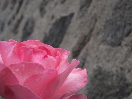 rose sous la rosée...