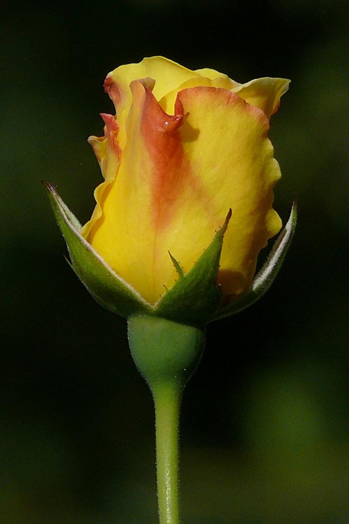 Rose - stolz dastehend