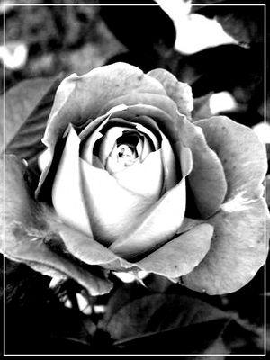Rose s/w